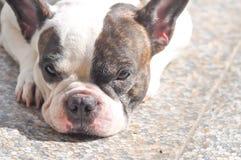 Dogo francés soñoliento foto de archivo libre de regalías