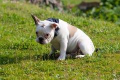 Dogo francés tímido que se sienta en hierba Foto de archivo libre de regalías