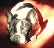 Dogo francés triste encantador en el retrato de la foto de color del sofá que sorprende de un perrito fotografía de archivo libre de regalías