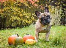Dogo francés y calabaza Fotografía de archivo