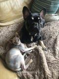 Dogo francés y gato del sphynx que abraza animales foto de archivo