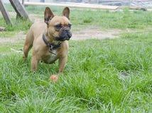 Dogo franc?s Peque?o perro hermoso Fondo del calendario el perro está jugando con la bola imagen de archivo libre de regalías