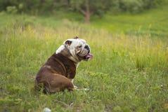 Dogo inglés Imagen de archivo libre de regalías