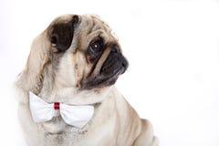 Dogo inglés Fotos de archivo libres de regalías