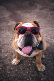 Dogo inglés adulto Imagen de archivo libre de regalías