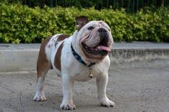 Dogo inglés blanco en la tierra Foto de archivo