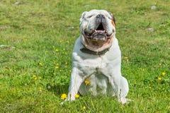 Dogo inglés blanco que se sienta en un prado verde imagenes de archivo