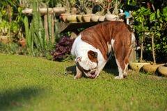 Dogo inglés criado en línea pura Imagen de archivo