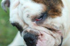 Dogo inglés criado en línea pura Fotos de archivo