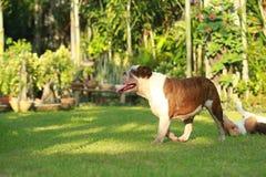 Dogo inglés criado en línea pura Foto de archivo libre de regalías