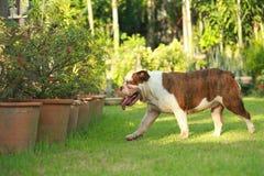 Dogo inglés criado en línea pura Imagen de archivo libre de regalías