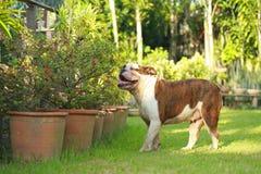 Dogo inglés criado en línea pura Fotografía de archivo libre de regalías