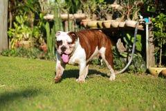 Dogo inglés criado en línea pura Foto de archivo