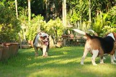 Dogo inglés criado en línea pura Fotos de archivo libres de regalías