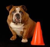 Dogo inglés culpable Foto de archivo