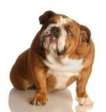 Dogo inglés de mirada culpable Foto de archivo libre de regalías