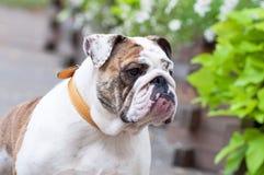 Dogo inglés o dogo británico Fotografía de archivo libre de regalías