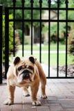 Dogo inglés rollizo en las pavimentadoras Fotos de archivo