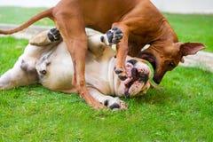 Dogo inglés y el jugar rhodesian del ridgeback Foto de archivo libre de regalías