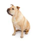 Dogo inglés y perro mezclado Shar-Pei de la casta fotos de archivo libres de regalías