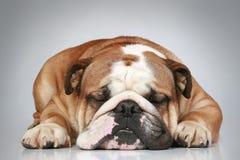 Dogo inglés que miente en fondo gris Fotografía de archivo