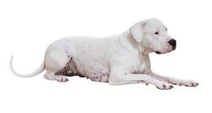 Dogo menteur Argentino Photos stock