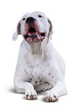 Dogo menteur Argentino Images stock