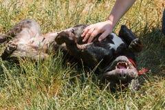 Dogo negro feliz que rueda alrededor en la hierba mientras que siendo animal doméstico fotografía de archivo libre de regalías