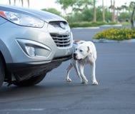 Dogo que viene alrededor de una búsqueda del vehículo Imagenes de archivo