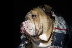 Dogo triste en un retrato de la tela escocesa fotografía de archivo libre de regalías