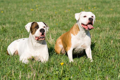 Dogos americanos Foto de archivo libre de regalías