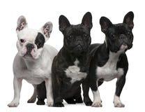 Dogos franceses, 11 años de los meses, 3 y 6, Imágenes de archivo libres de regalías