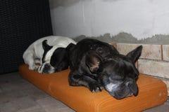 Dogos franceses, frialdad imagen de archivo libre de regalías