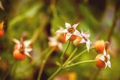 Dogrose植物户外 库存图片