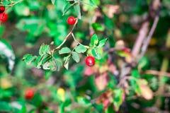 dogrose狗荆棘红色莓果在秋天庭院里 免版税库存图片