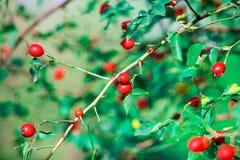 dogrose狗荆棘红色莓果在秋天庭院里 库存照片