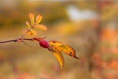 dogrose秋天照片在森林里 免版税库存图片