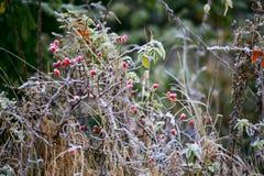 Dogrose莓果 早晨霜在草的秋天树冰 f 库存照片