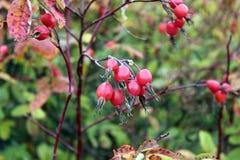 Dogrose莓果 库存图片