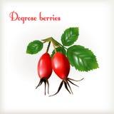 Dogrose莓果 免版税库存图片