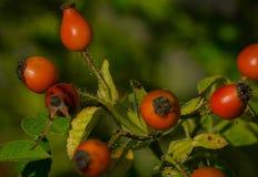 Dogrose莓果 免版税图库摄影