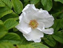 dogrose起皱纹的玫瑰的白色大花起了皱纹罗莎rugosa L 免版税图库摄影