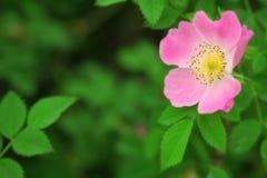 dogrose ροζ λουλουδιών Στοκ Φωτογραφία