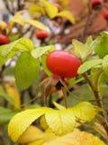 dogrose φύλλα Στοκ Φωτογραφίες