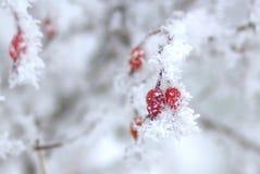 Dogrose в изморози Стоковые Фото