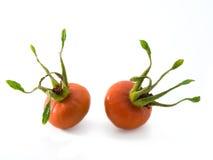 dogrose ягод Стоковые Изображения RF