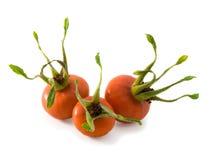 dogrose ягод Стоковое фото RF