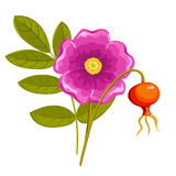Dogrose. Isolated on the white. Vector illustration Stock Photo