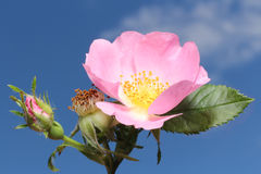 Dogrose Royaltyfria Bilder