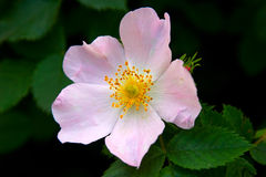 Dogrose. Pink flowers of a dog-rose with a bright green grass Royalty Free Stock Photos